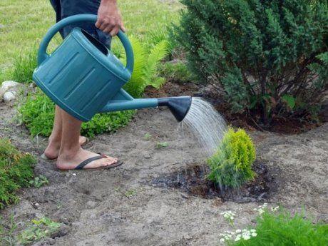 Полив хвойных растений