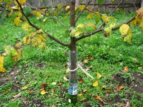 Укрытие деревьев от грызунов из бутылок