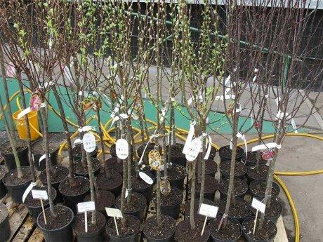 Как купить хорошие саженцы плодовых деревьев, чтобы долгие годы радоваться  урожаю   В саду (Огород.ru)