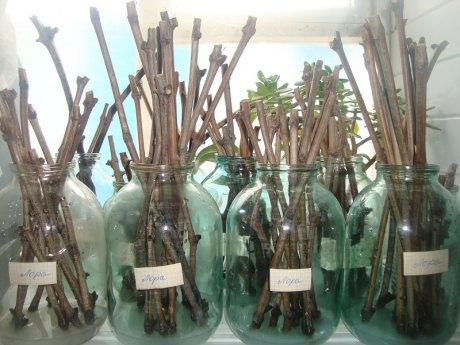 Действие перекиси водорода на черенки растений