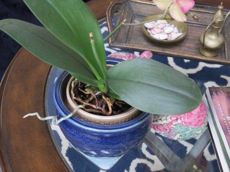 Почему не цветет орхидея
