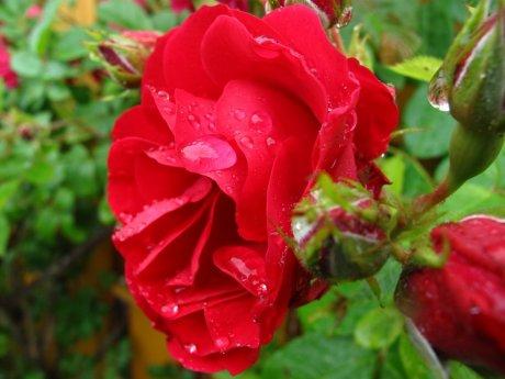 Роза Хейдельберг