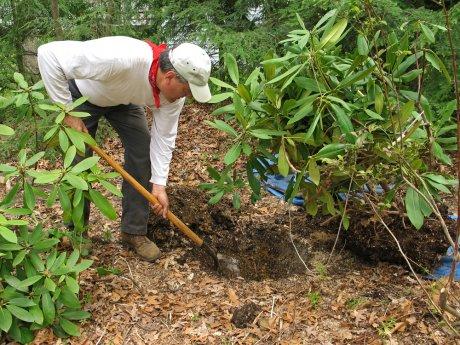 Посадка рододендрона весной в открытый грунт