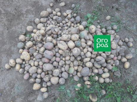 Как сортировать картофель