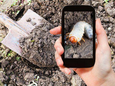 garden concept - man taking photo of white larva of cockchafer on ground on mobile gadget in garden