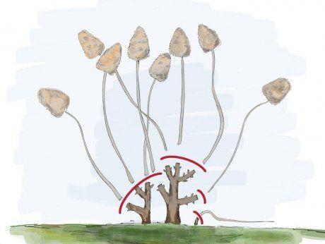 Обрезка гортензии на цветение