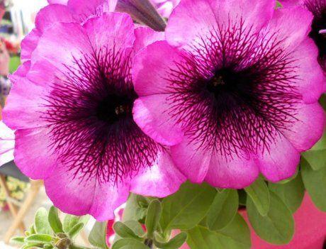 Fortunia Purple