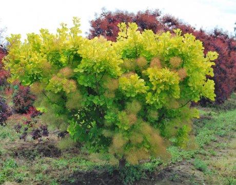 скумпия посадка выращивание уход сорта