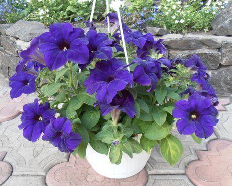 Fortunia Blue