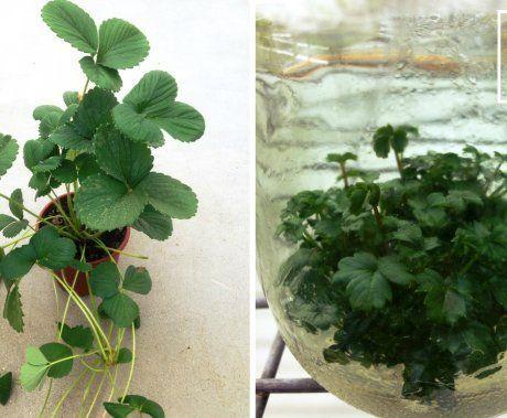 Слева – растение земляники садовой с усами и молодыми розетками-клонами (пример естественного клонирования). Справа – клонирование земляники в искусственных условиях