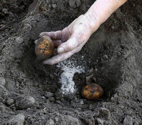 Посадка клубней картофеля осенью