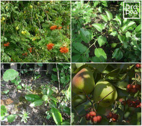Необычные прививки садовых деревьев