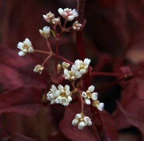 Горец мелкоголовый Красный Дракон во время цветения