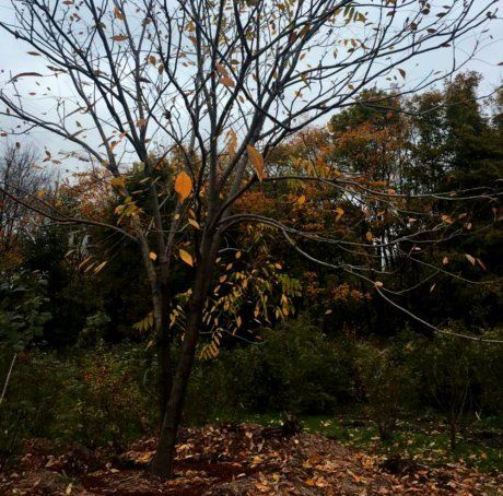 пересаженное дерево