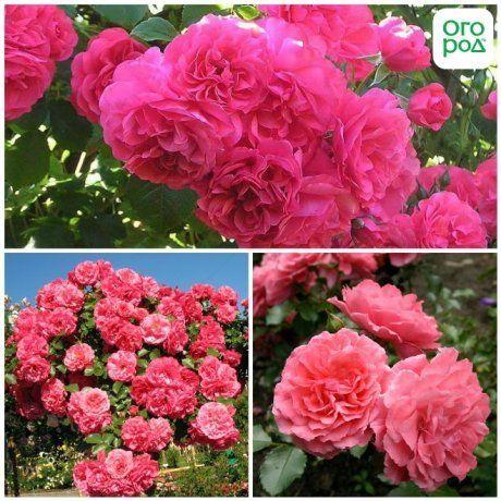 Розариум Ютерсен плетистая роза