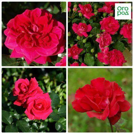 розы авила палас