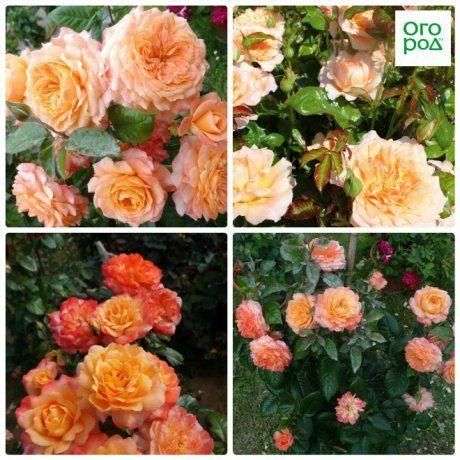 розы король артур