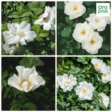 розы ругоза альба