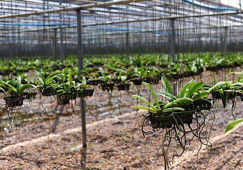 Орхидеи в питомнике