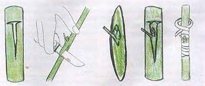 Схема окулировки