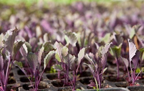 Выращивание рассады капусты в кассетах