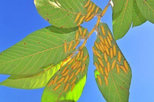 Гусеницы на ветке