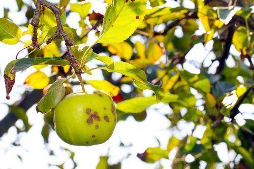 Яблоко, зараженное паршой