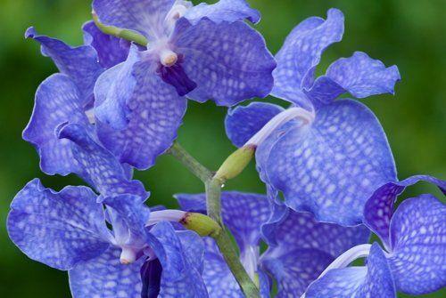 Орхидея рода Ванда
