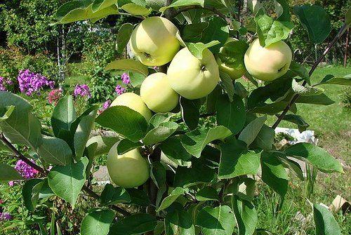 Молодая яблоня в саду