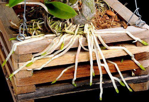 Здоровые корни у орхидеи