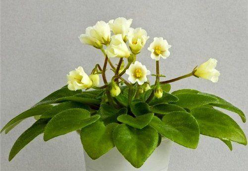 Фиалка с цветками-колокольчиками Alcemy Yellow Bells