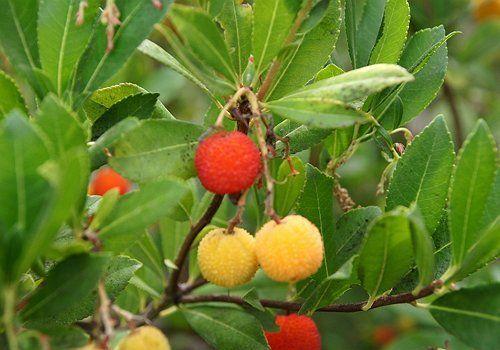 Плоды земляничного дерева