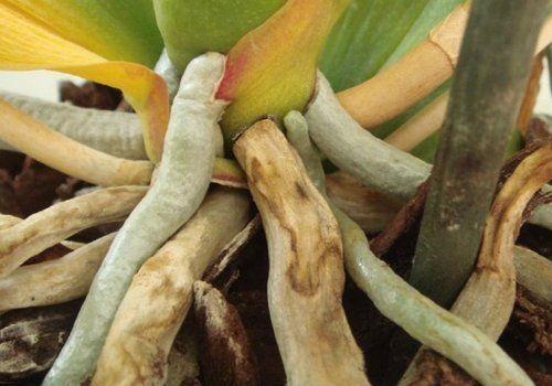 Светлые корни – здоровые, темные – поврежденные