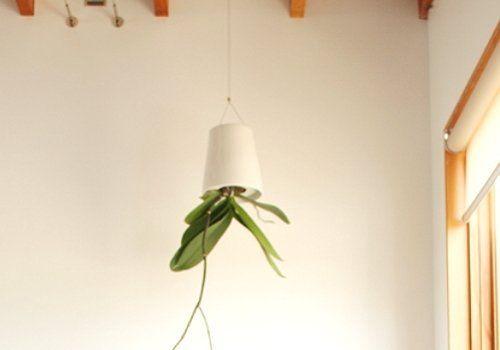 Орхидея вверх ногами