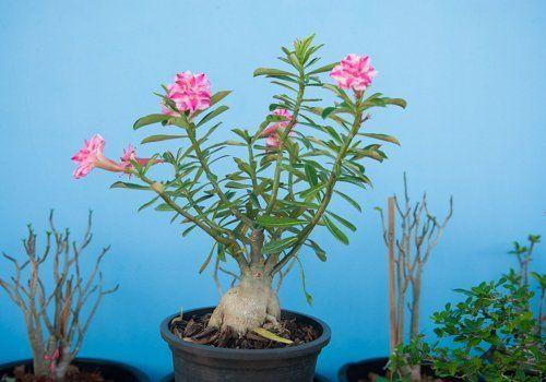 Растение с каудексом