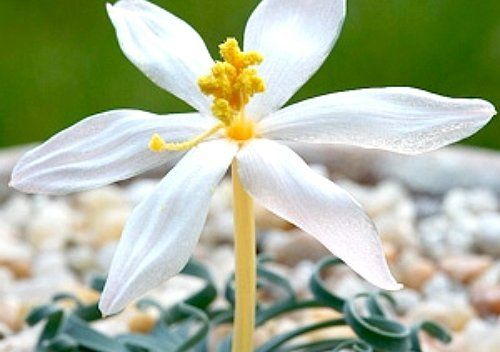 Цветок альбуки
