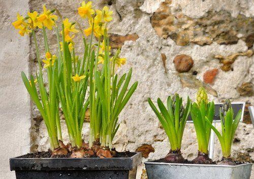 Нарциссы и гиацинты