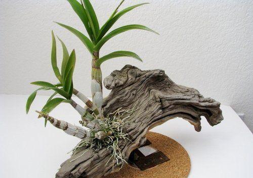 Дендробиум с утолщенными стеблями