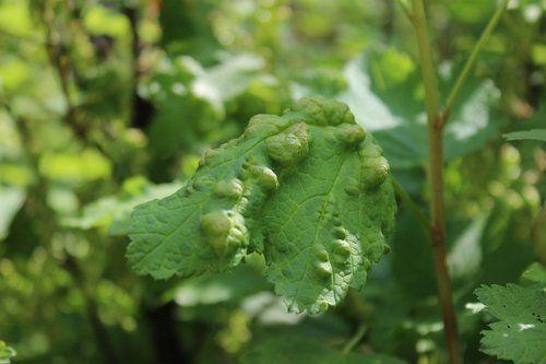Смородинная листовая галловая тля