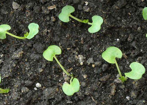 Инкарвиллея из семян