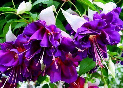 Сорт Deep Purple