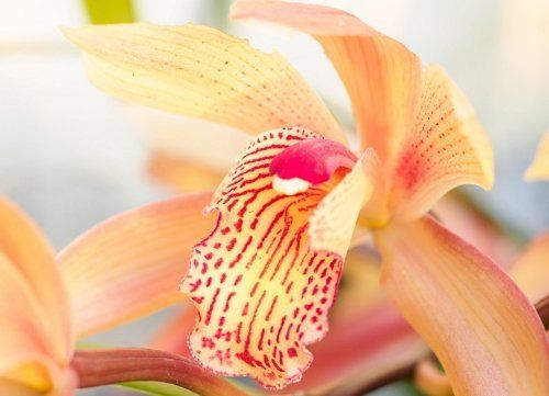 Цветок цимбидиума
