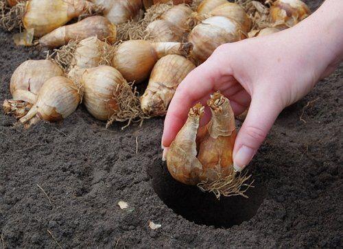 Какие луковичные сажаемые осенью 59