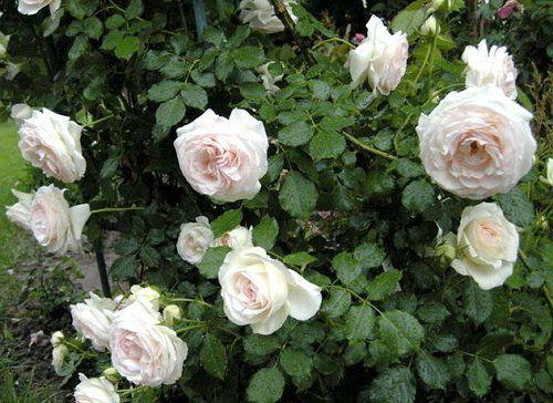 Пале рояль роза плетистая