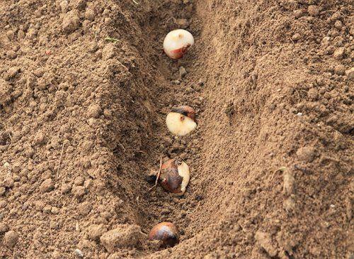 Луковицы тюльпанов в траншее