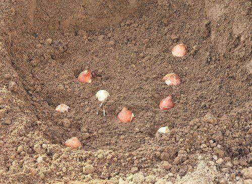 Луковицы тюльпанов в грядке