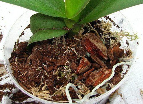 Пересаженные орхидеи