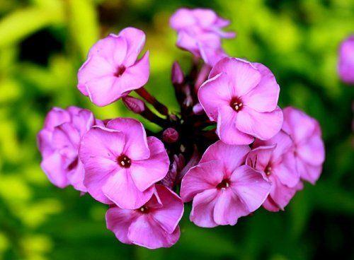 Цветение флокса