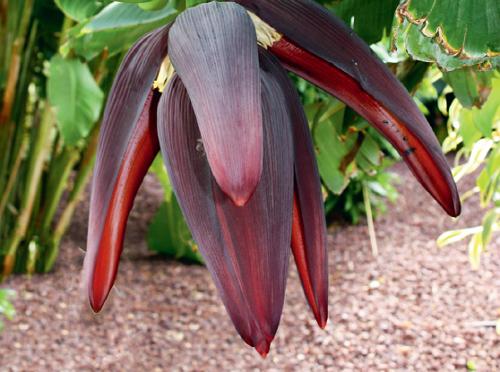 Соцветие банана в природе