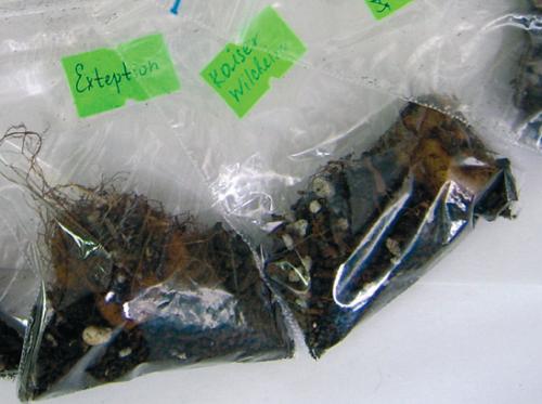 Клубни глоксиний в пакете